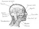 cei mai importanti muschi ai capului