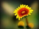 o floricica