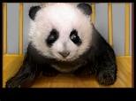 un ursulet panda