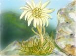 Floare de colt sau Edelweiss